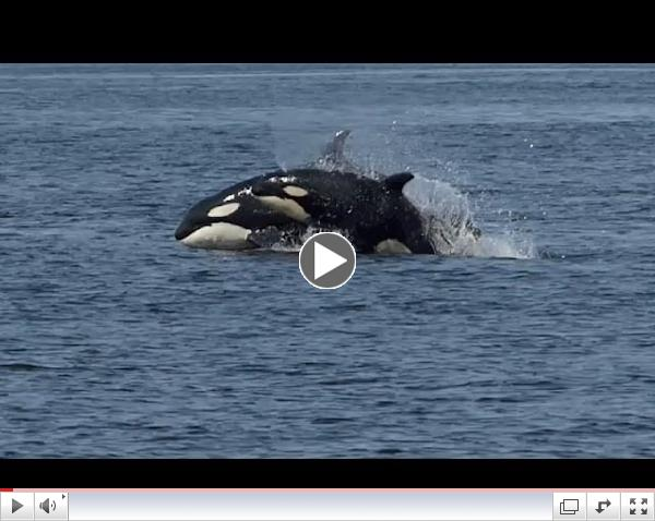 Killer Whale Encounter - Western Prince - 4/7/14 (Transient Killer Whales)