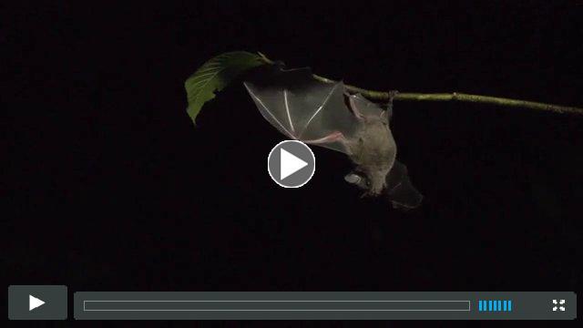 Bats and Piper