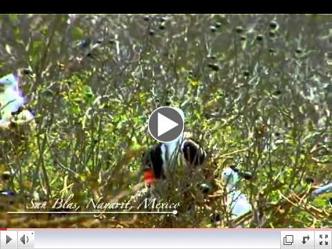 Bird Watching - Avistamiento de Aves - San Blas, Riviera Nayarit, Mexico