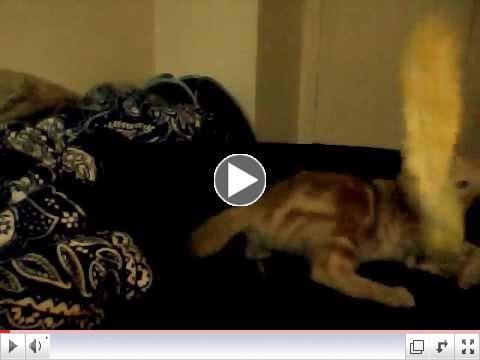 Itsy Bitsy - The Wonder CH BABY Kitten!