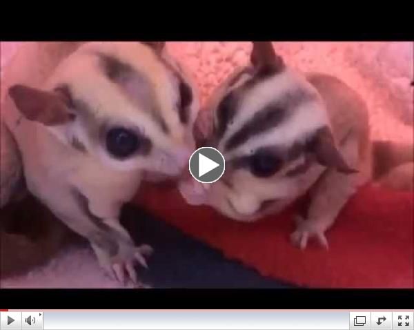 A Sugar Glider Family Checkup and a New Joey!