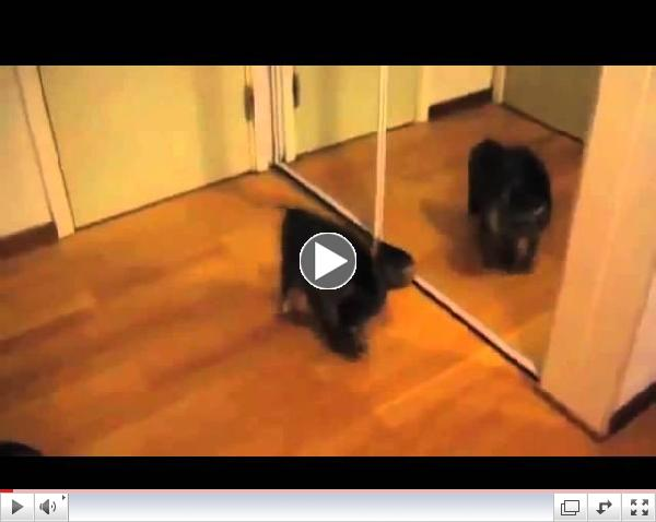 Puppies And Kittens Vs  Mirrors