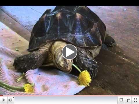Rambo the sulcata tortoise eating dandelions