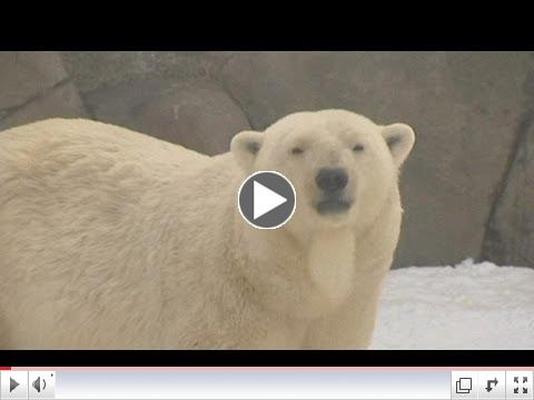 Polar bear cubs: The Moscow Zoo's new attraction