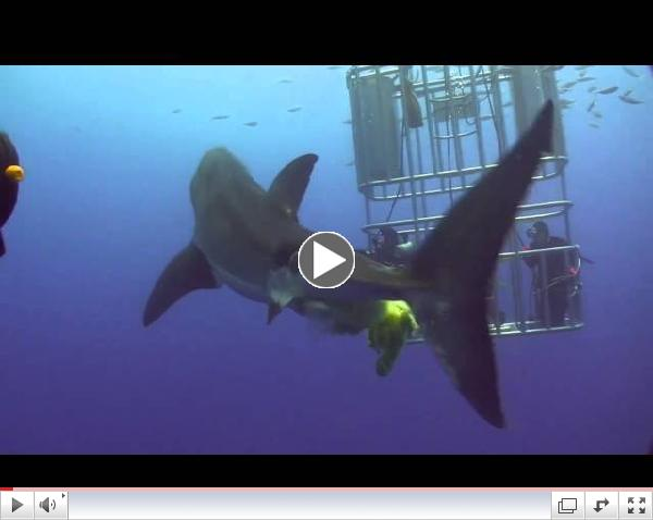 Great White Shark Guadalupe Aug 2010 Poop YouTube