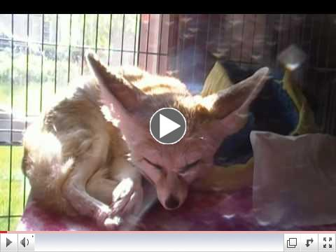 Miss Zoey the fennec fox sleeping in the sun, and Quiggly on her shelf