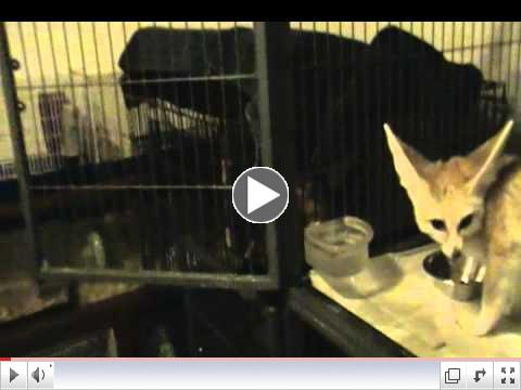 Zoey the fennec fox gets a treat of superworms, Wiley gets a treat too