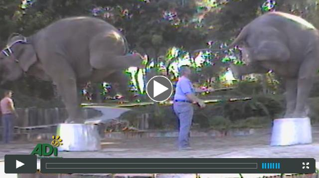 More video evidence of movie elephant suffering...
