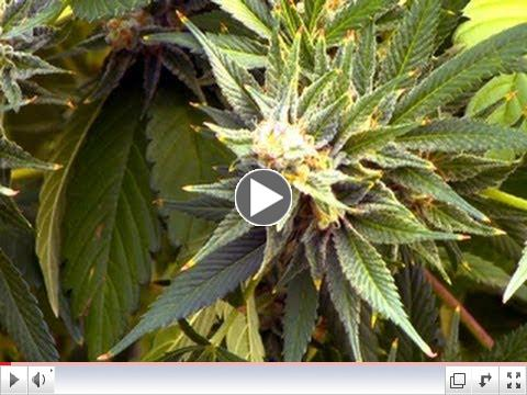 Health effects of marijuana use remain unclear