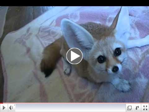 The Fennec Fox Trio get Chicken: Quiggly, Wiley & Zoey