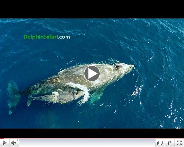 Drone Films Newborn Whale & Paddleboarder and Whale Surprises Dana Point Whale Watchers