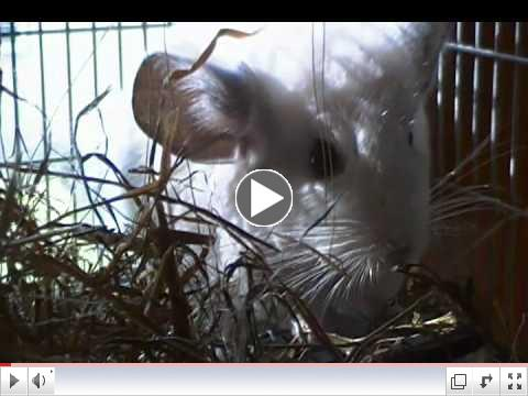 Fievel the rescued chinchilla noms hay