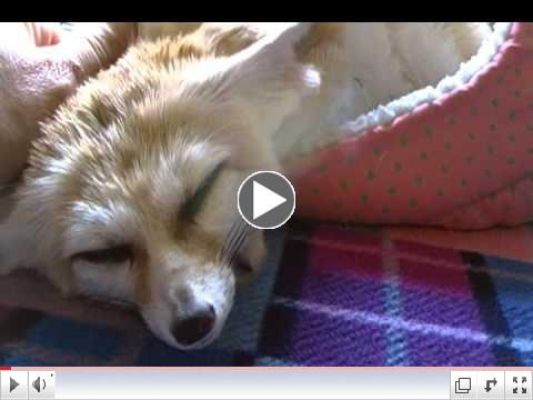 Fennec Foxes being CUTE!