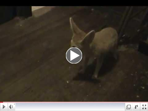 Meet Newest Critter Camp Fennec Fox Cairo