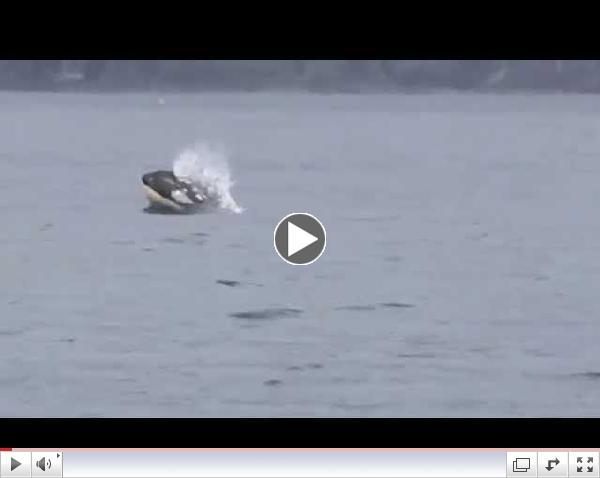 Baby Orca off Sooke BC