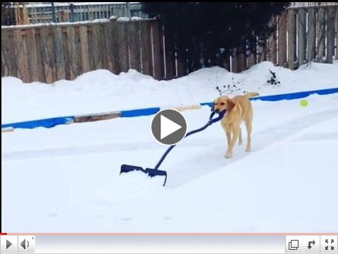 Dog earns her keep shoveling snow off hockey rink