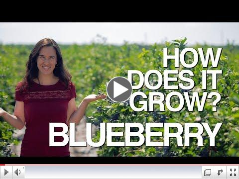 How Does it Grow? Blueberry