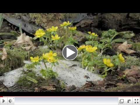 Time lapse Winter Aconite flowering, snow melting