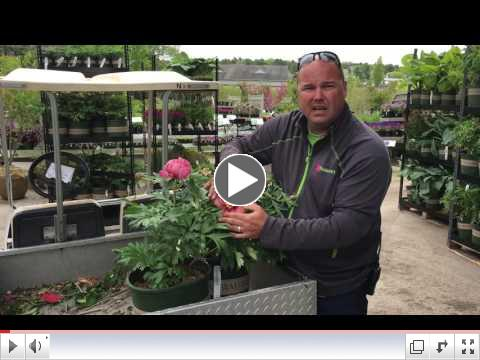 Tom Estabrook showcases ITOH Peonies