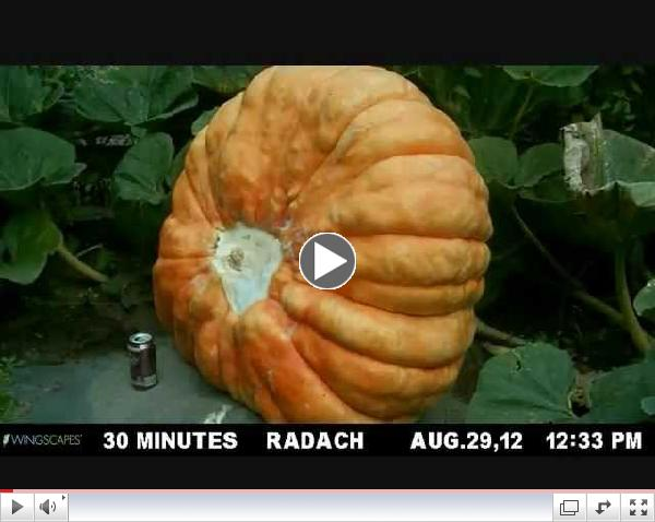 Giant Pumpkin Time Lapse.wmv