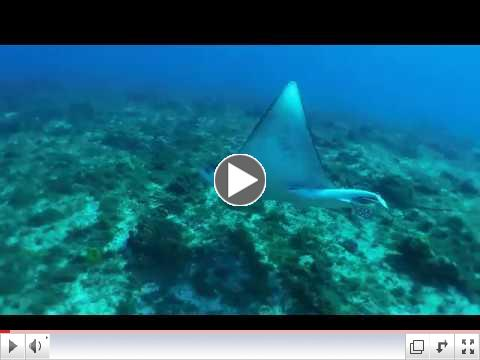 Swimming with an Eagle Ray