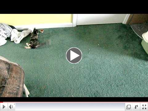 4 kittens with cerebellar hypoplasia all in need of a home
