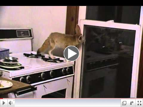 And Quiggly the fennec fox is back on the stove!