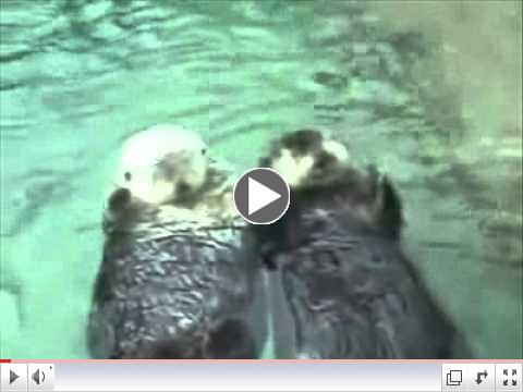 Sea otters in love