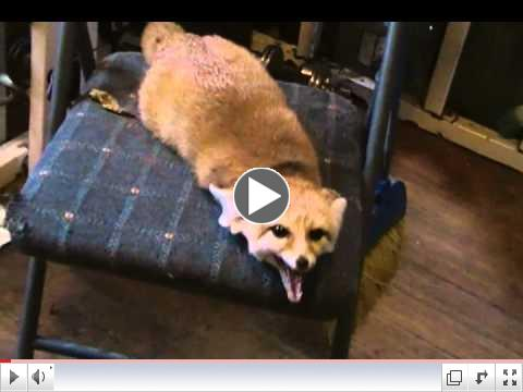 Mister Quiggly the fennec fox pooped on the chair!