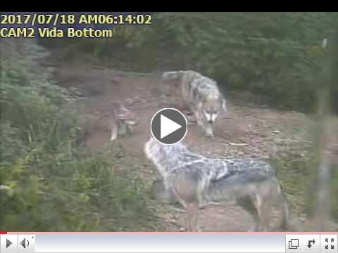 Family time for four Mexican wolf pups and their parents