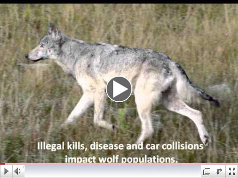 Wisconsin's Wolves Need Your Help