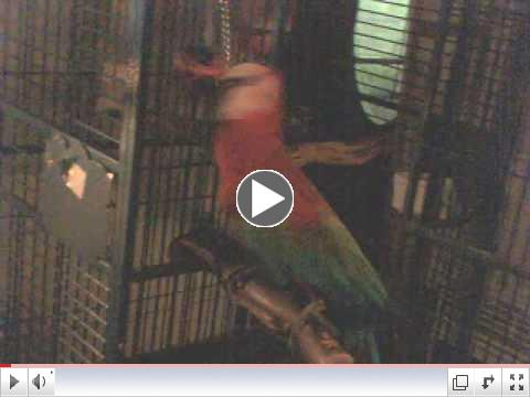 Jackson the macaw works out