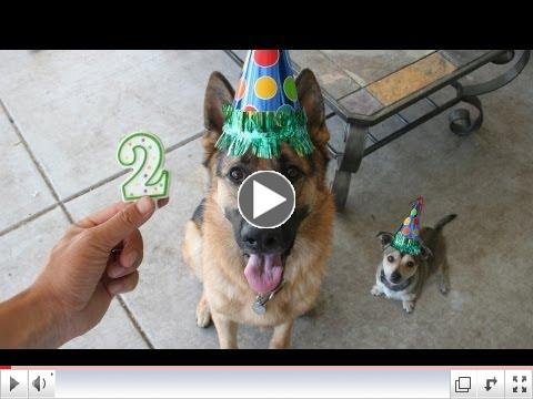 Photo a day German Shepherd: Time lapse puppy YEAR 2. Dunder