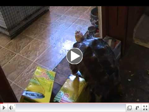 Rambo the tortoise tries to get to the dog food