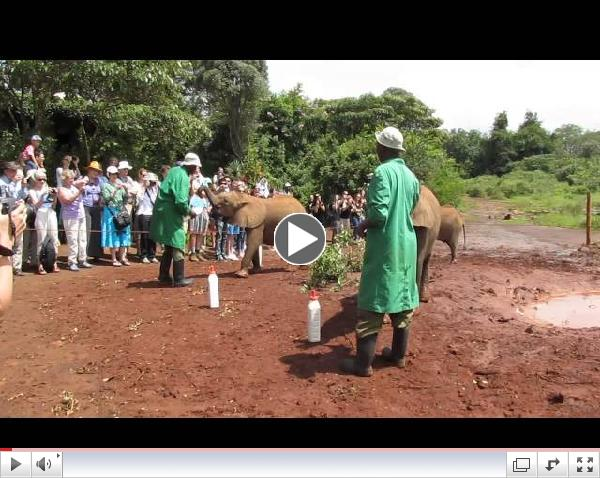 Elephant Calves Arrive for Their Feeding
