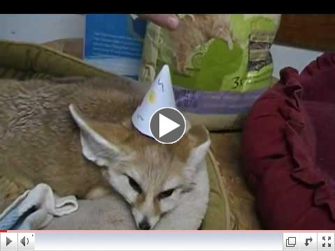 Happy Birthday to Mister Quiggles the Fennec fox