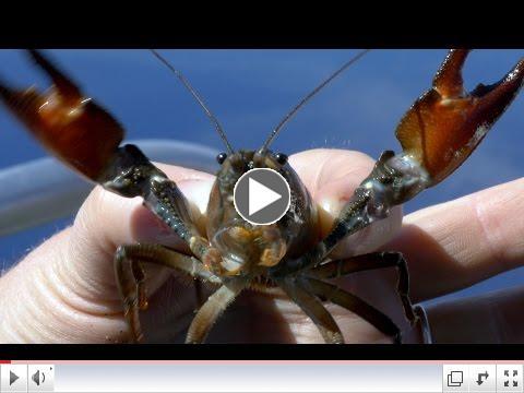 the Crayfish vs. the Newt
