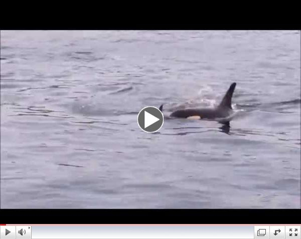 Orcas in Active Pass, 8:45 am Aug 22 2014