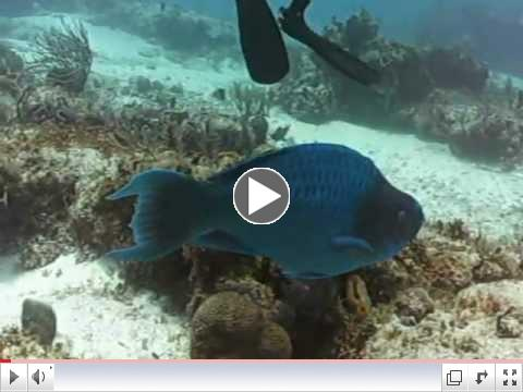 Blue Parrotfish in Cozumel