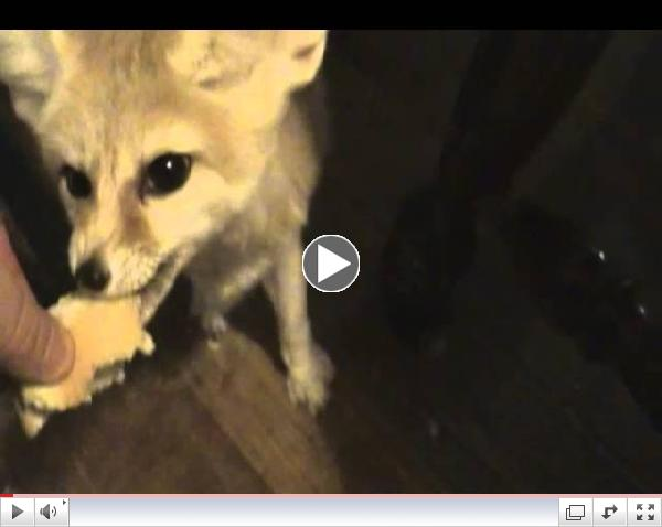 Quiggly the fennec fox carboloading