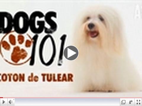Dogs 101 - Coton de Tulear