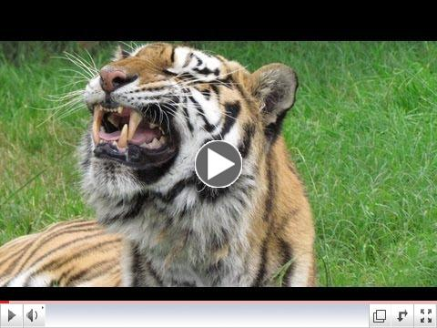 FLEHMEN RESPONSE: Gracie the Tiger