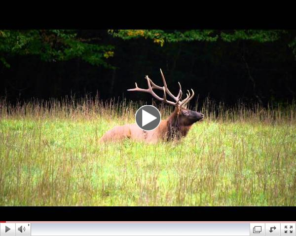 Elk in Cataloochee Valley - The Call of the Wild