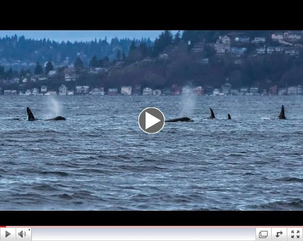 Southern Resident Killer Whales: Sleeping in the Salish Sea (HD)
