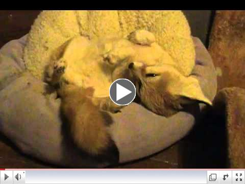 Quiggly the adorable fennec fox trying to get some shuteye