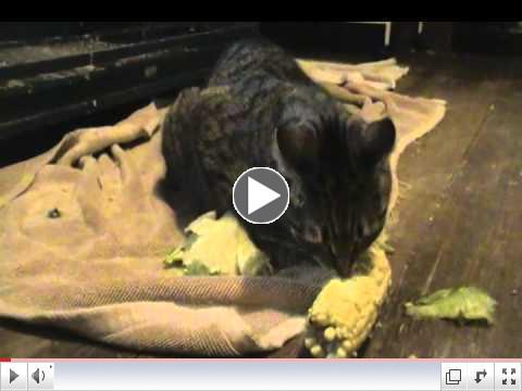 Kitty Eats Corn on the Cob