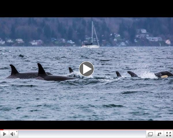 Southern Resident Killer Whales: December Sunset Visit (HD)