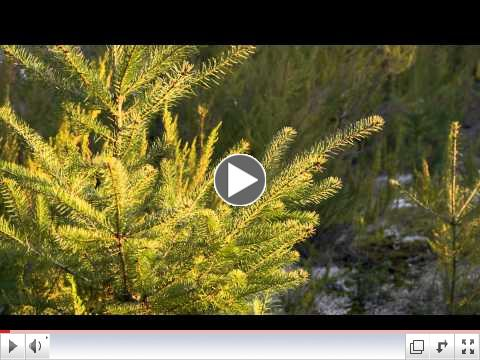 To learn more about how doTERRA sources Douglas Fir oil, watch this video:  - See more at: https://doterra.com/US/en/blog/spotlight-douglas-fir-oil#sthash.WDjgI230.dpuf