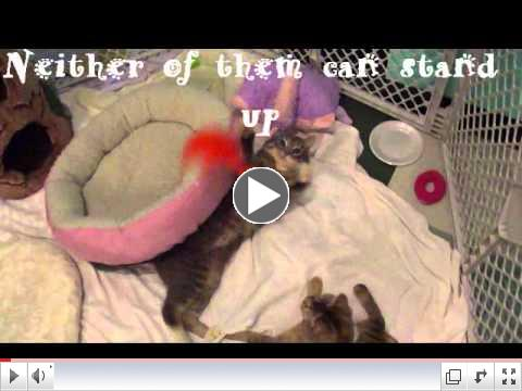 Cerebellar Hypoplasia Disabled Cats Playing
