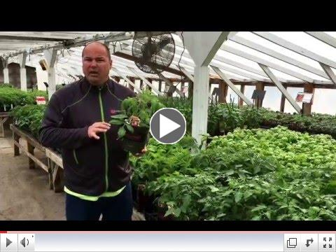Watch Tom Estabrook introduce Mighy Mato grafted tomatoes
